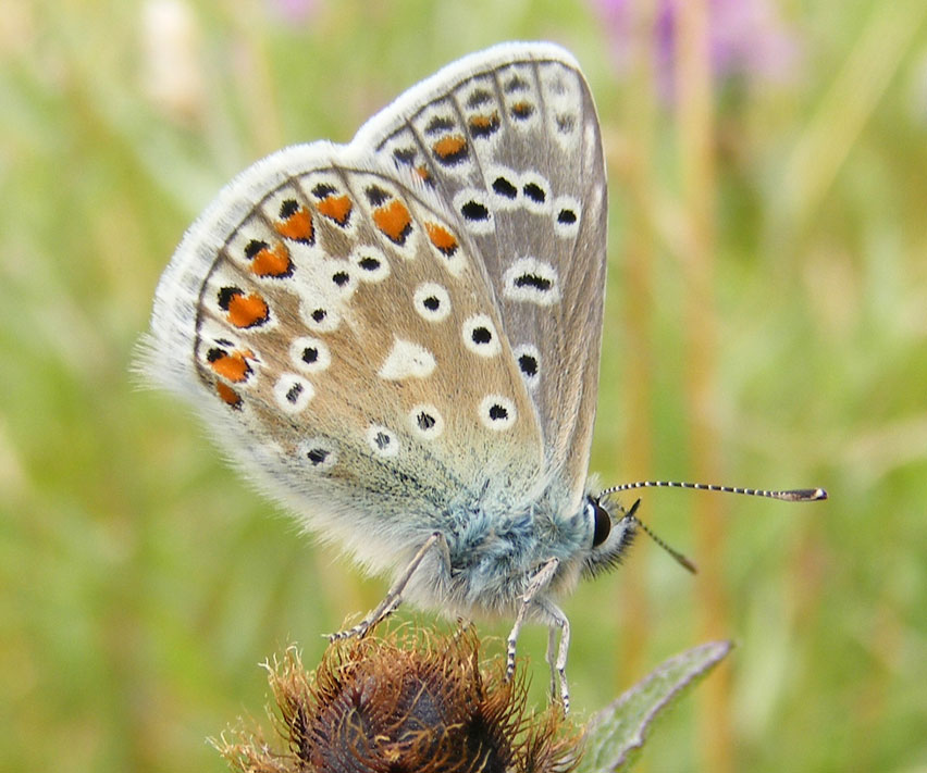 Common Blue on Hardhead (Mill Hill, upper meadow)