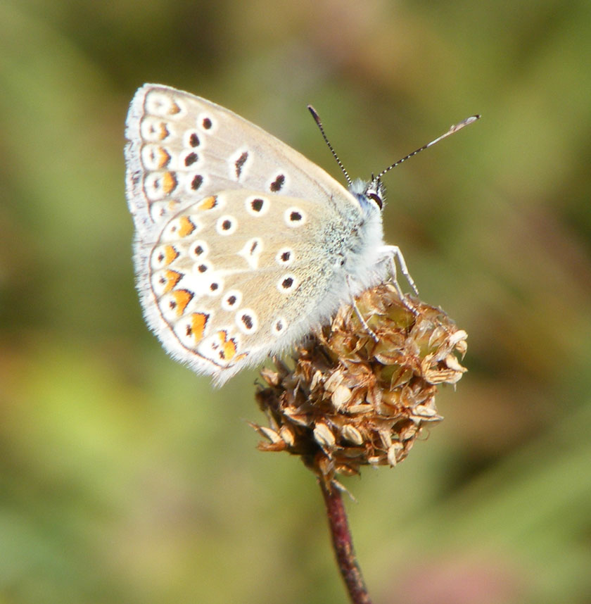 Common Blue from the Buckingham Cutting (south)