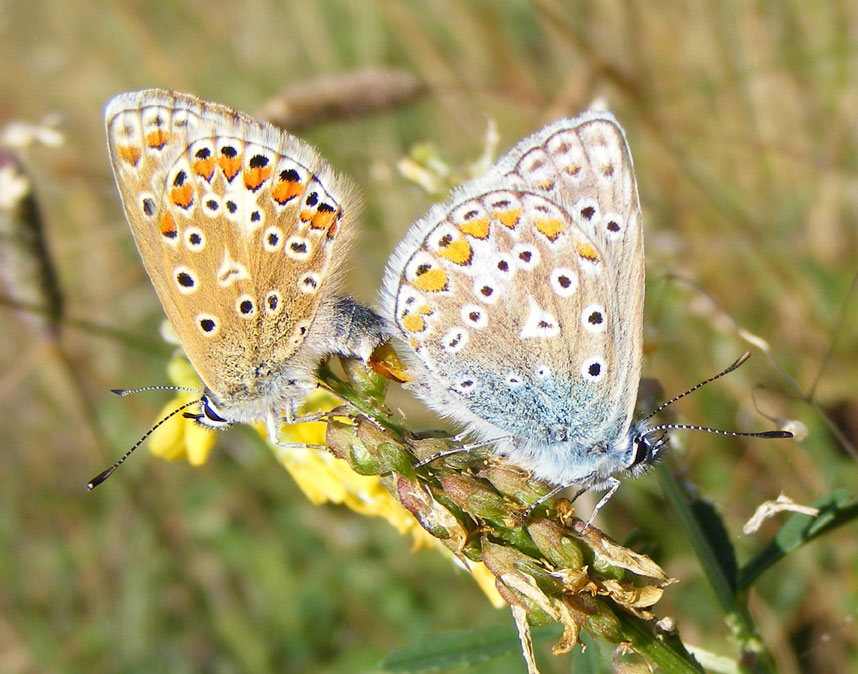Common Blues on Buckingham Cutting south