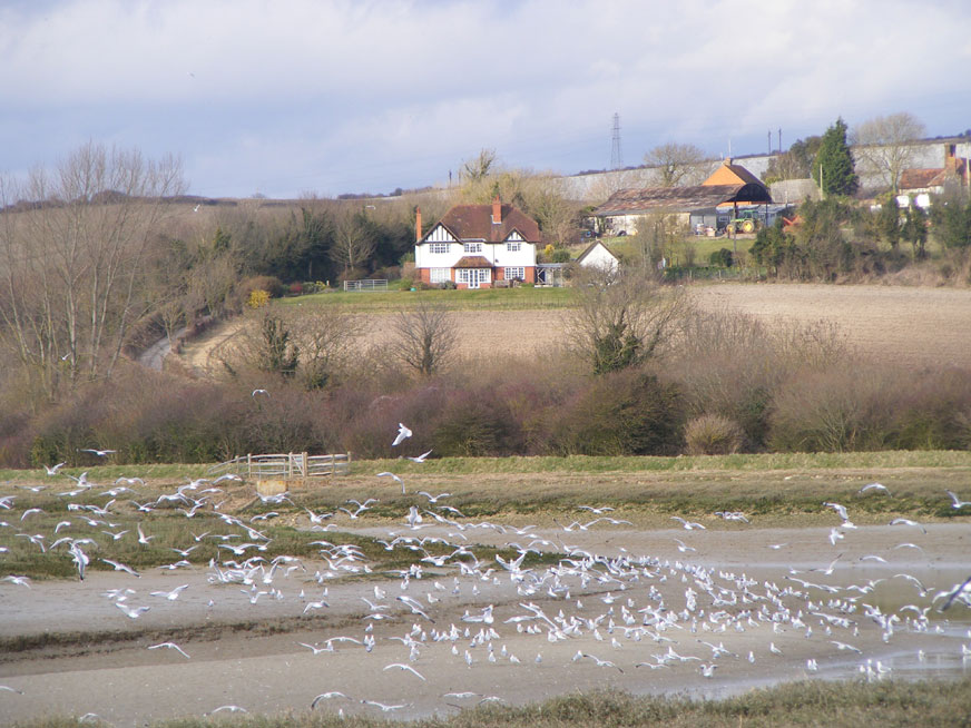 Common Gulls over the River Adur