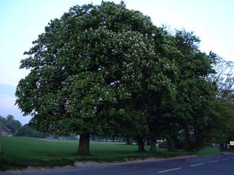 Photograph by Ray Hamblett: Horse Chestnut at Lancing Manor