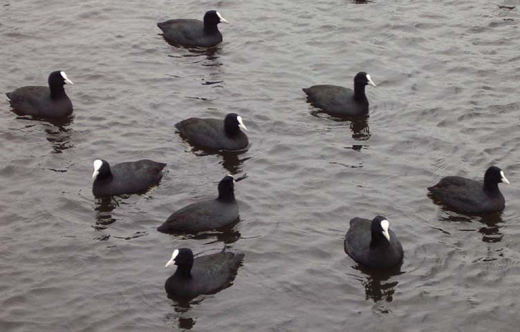 Coots on Brooklands (Photograph by Andy Horton)