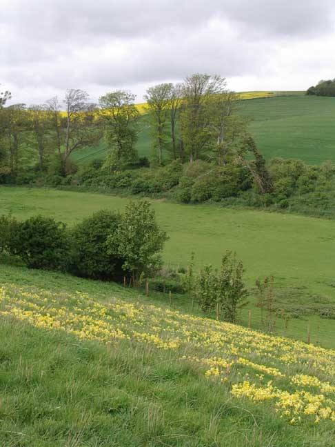 Field of Cowslips in the foreground with Oil Seed Rape on the hill