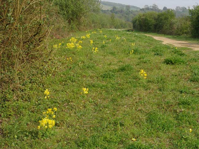 Cowslips on the verge of the cyclepath