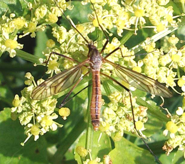 Spotted Crane-fly, Nephrotoma, from the southern part of Mill Hill
