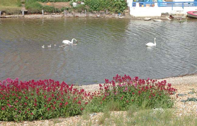 Swans with cygnets with a foreground of Red Valerian (Photograph by Andy Horton)