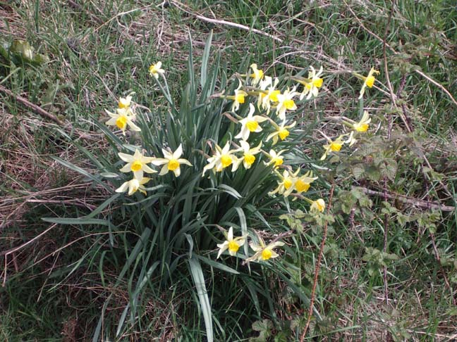 Wild Daffodils near the Dewpond at Lancing Ring (Photograph by Andy Horton)