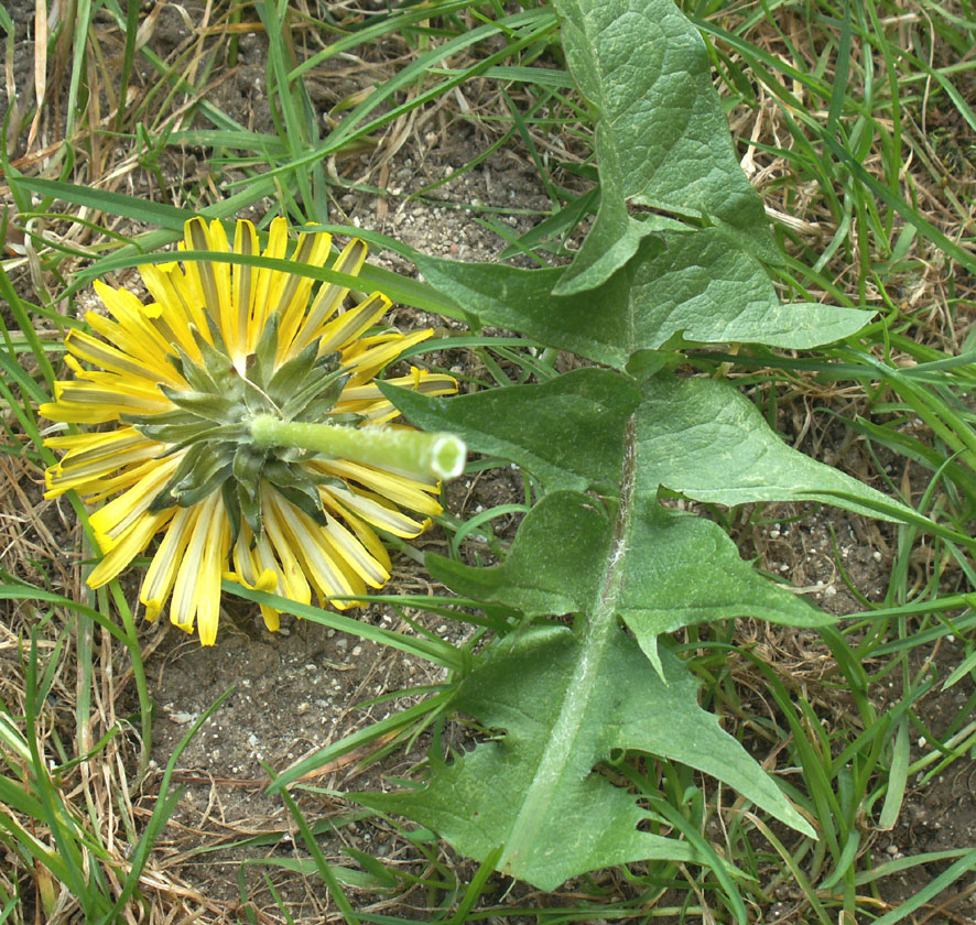 Common Dandelion (with lion's tooth leaves)