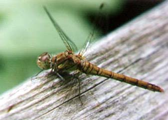 Common Darter (Photograph by Andy Horton)