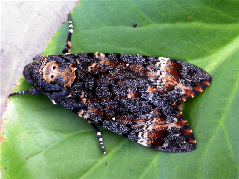 Death's Head Moth from Dorset (Photograph by Ivan)