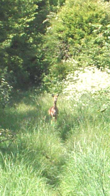 Roe Deer in the Elm avenue