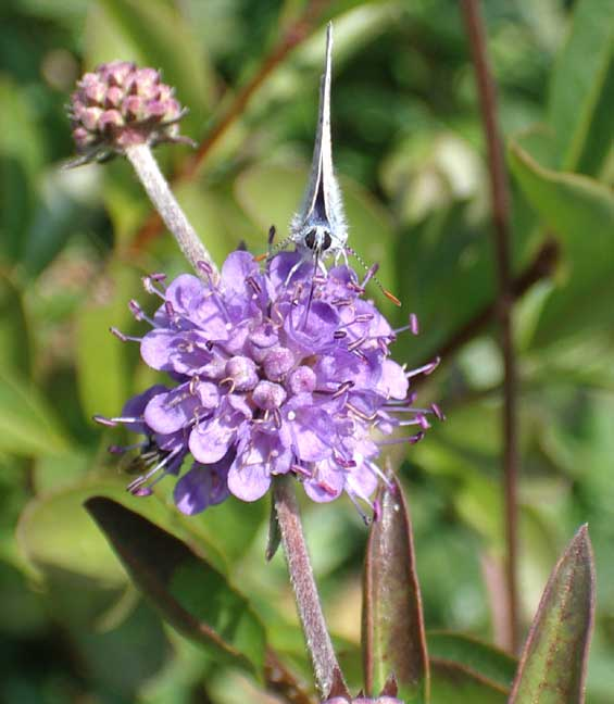 Devil's Bit Scabious with a Common Blue Butterfly