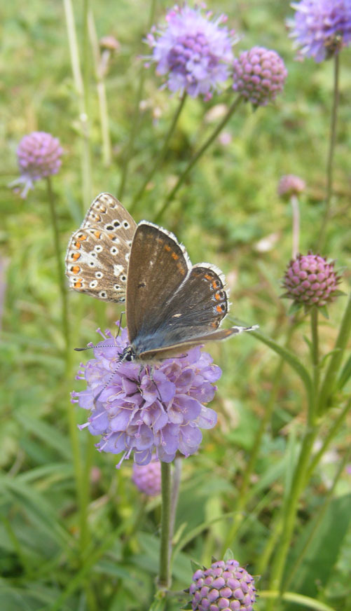 Female Adonis Blue on Devil's Bit Scabious on Mill Hill