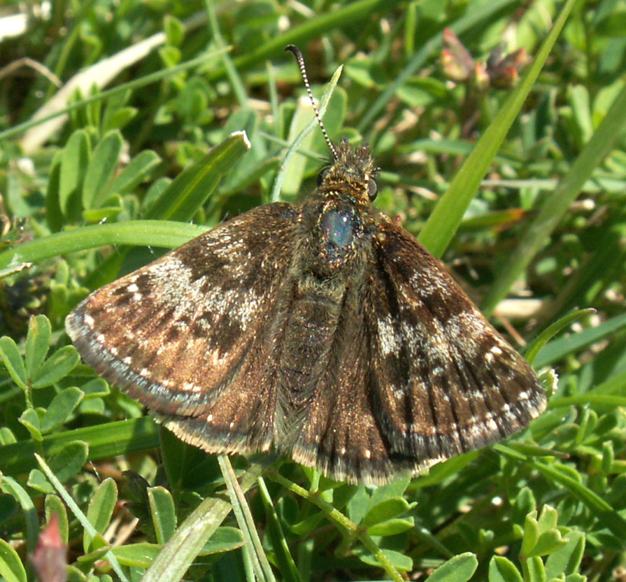 A Dingy Skipper, much darker than normal, from the lower slopes of Mill Hill.