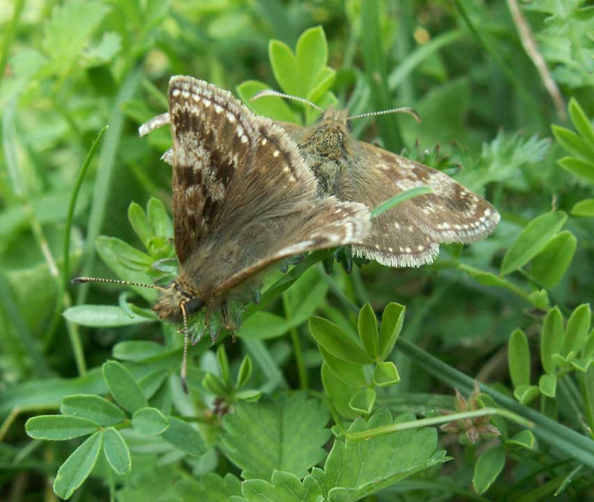 Dingy Skippers mating on Mill Hill