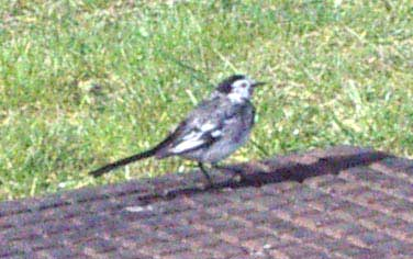 Pied Wagtail: a common winter bird in town