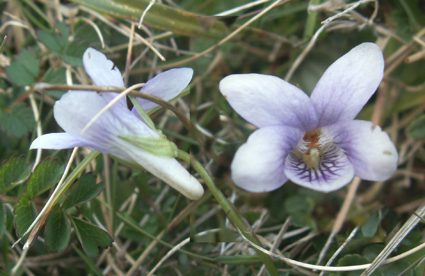 Dog Violet from Mill Hill