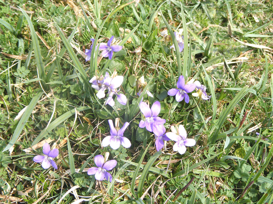 Dog Violets on the lower slopes of Mill Hill