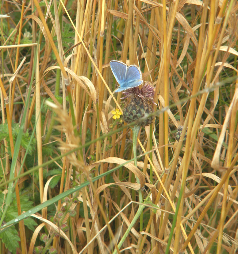 In this photograph my lens was directed on a Chalkhill Blue, but it flew off and I snapped the Common Blue nearby