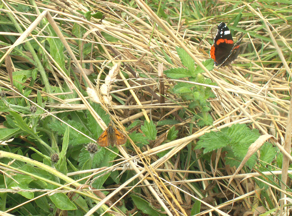 Large Skipper and Red Admiral in the long grass