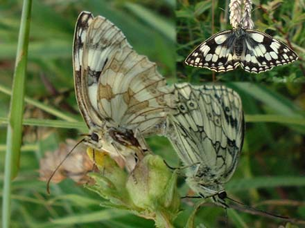 Marbled White Butterflies (Photographs by Ray Hamblett)