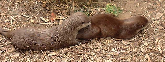 Otters  (Photograph by Ray Hamblett)