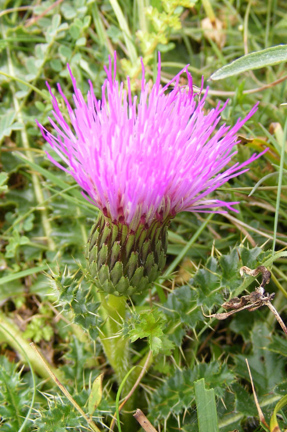 Stemless Thistle