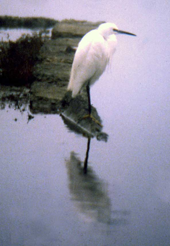 Little Egret in the mist
