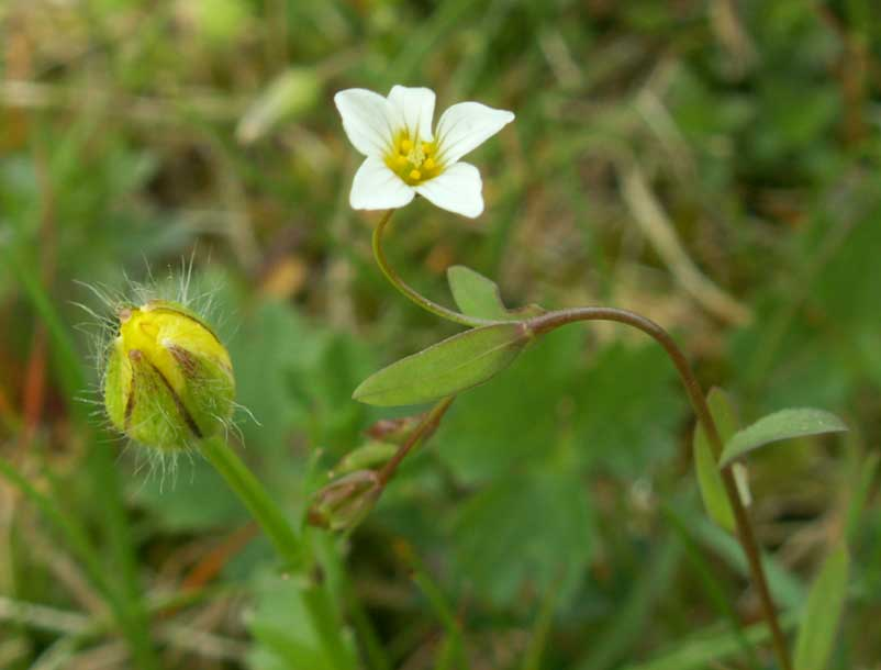 This Fairy Flax was spotted in the Old Erringham pasture