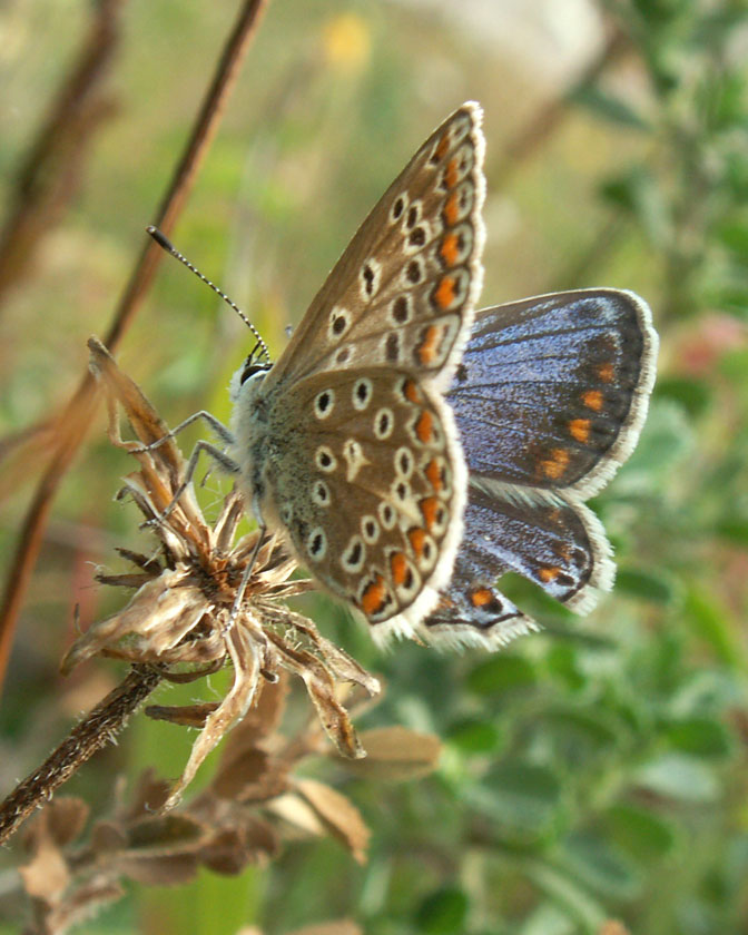 Female Common Blue of the blue variety