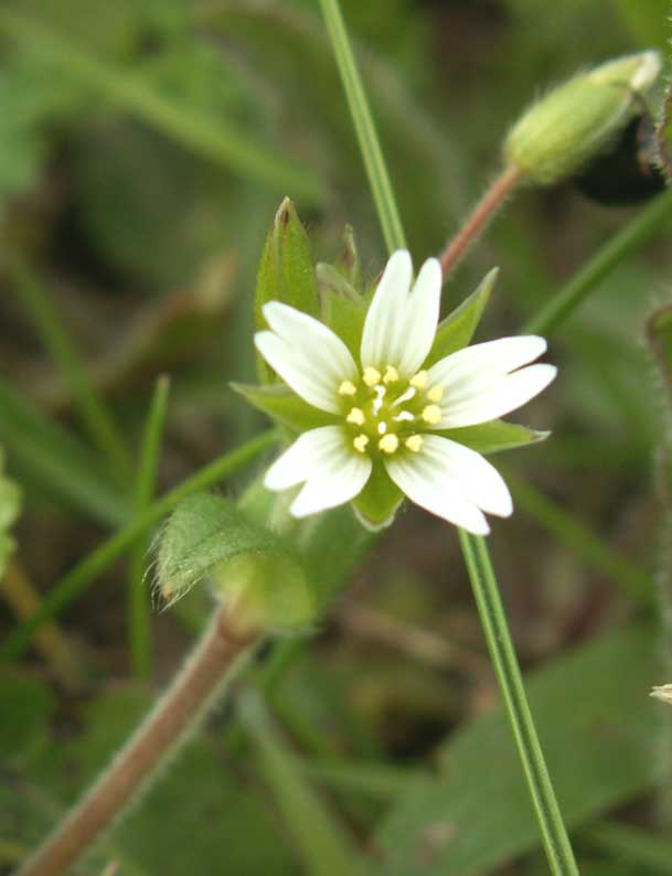 Chickweed or Mouse-ear ?