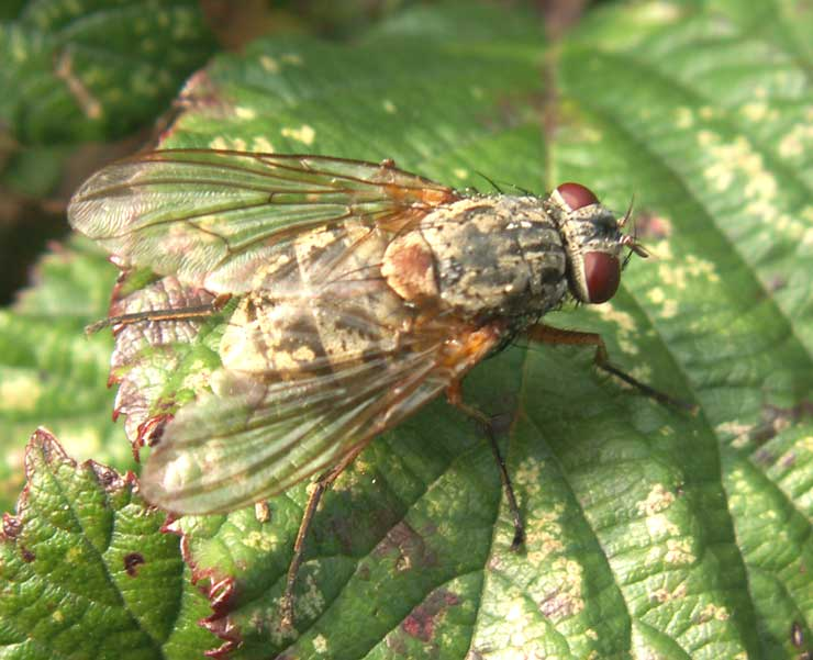 Unidentified fly, probably one of the Muscidae or House Flies