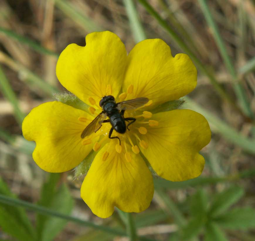 Probably a small Tachinid fly on Creeping Cinquefoil