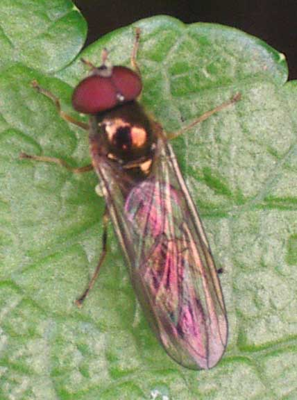 Male Melanostoma scalare hoverfly (ID by David Ifill)