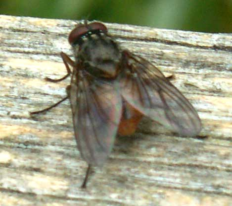 This one was about the size of the smaller blow-flies that enter homes