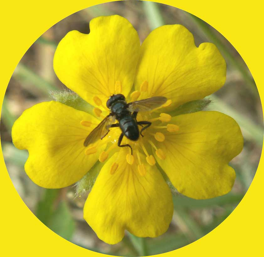 It is probably a small Tachinid fly on Creeping Cinquefoil
