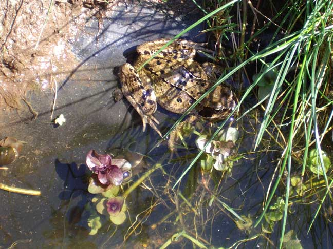 Common Frog in Lancing (2004)
