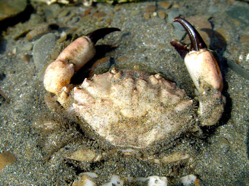Xantho crab (Photograph by Bob Alexander, Weymouth)