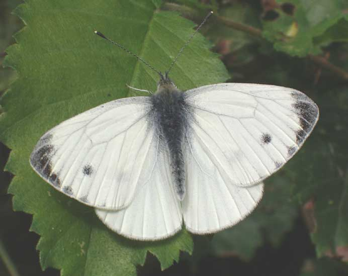 Green-veined White in the Elm Corridor at New Monks Farm