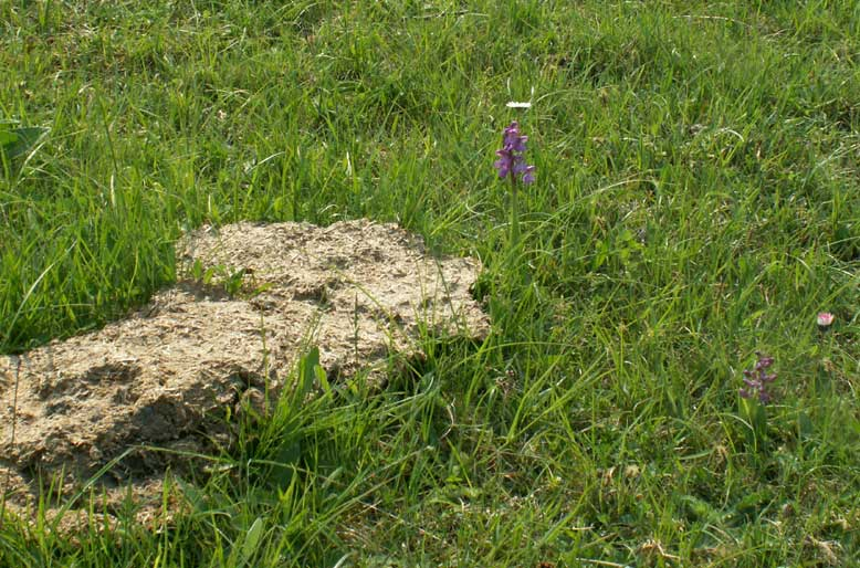 Green-winged Orchid with Cow Pat