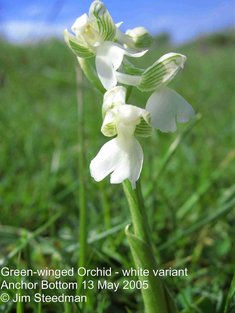 Green-veined Orchid (white version showing the veins) Photograph by Jim Steedman
