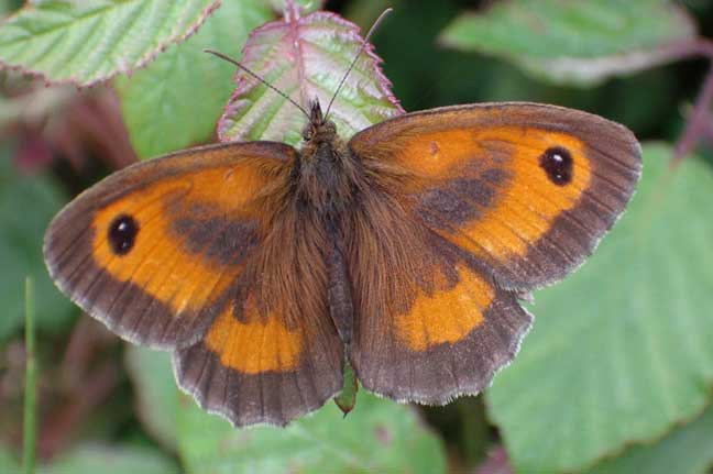 Gatekeeper on the path to Mill Hill