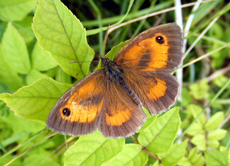 Gatekeeper on the Slonk Hill Cutting south