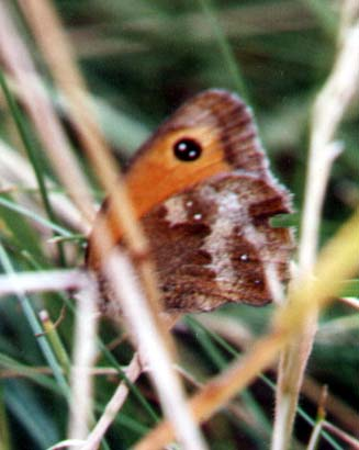 Gatekeeper Butterfly on Mill Hill (Photograph by Andy Horton)