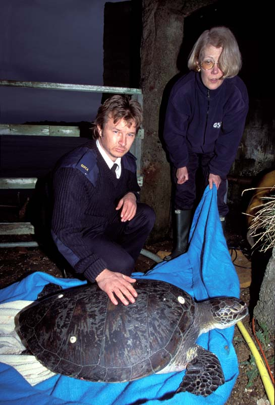 Green Turtle found on Guernsey 1/2003 (Photograph � by Richard Lord, Guernsey)
