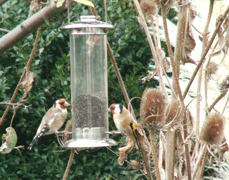 Goldfinches on the Niger feeder