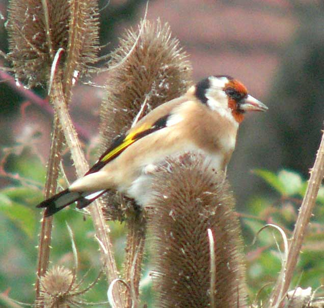 Goldfinch (Photograph by Andy Horton)