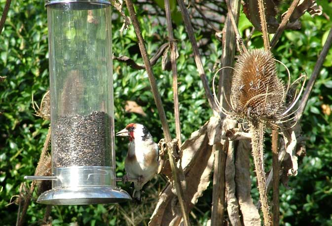 Goldfinch on Niger feeder with Teasel (Top photograph by Jan Hamblett)  (Click on the image for a photograph by Andy Horton)
