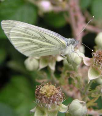 Green-veined White (Photograph by Brenda Collins)