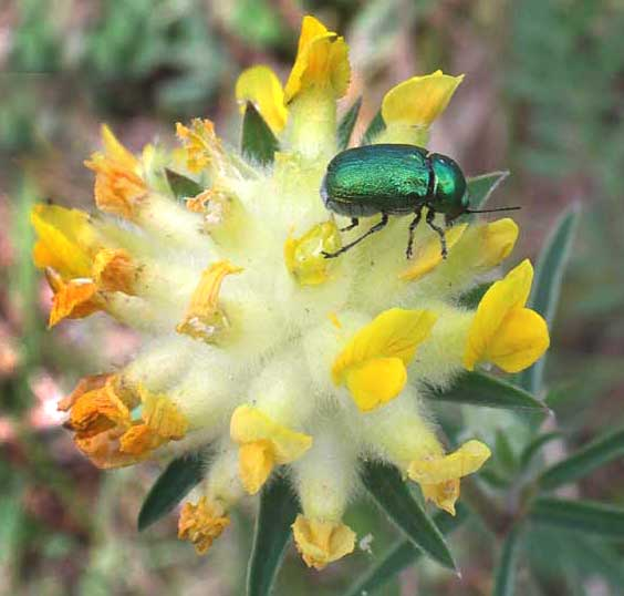Kidney Vetch (with the small green beetle)
